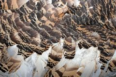 Great bustard feathers Royalty Free Stock Images