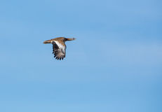 Great Bustard in flight Royalty Free Stock Photos