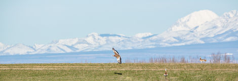 Great Bustard in flight Royalty Free Stock Images