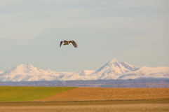 Great Bustard on flight Royalty Free Stock Photo