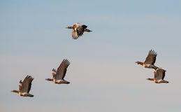 Great Bustard flock in flight Stock Photography