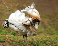 Great Bustard (Otis tarda) stock photos