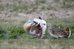Free Great Bustard, Otis Tarda Royalty Free Stock Image - 39550006