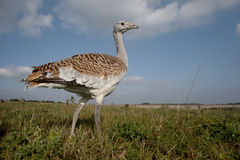 Free Great Bustard, Otis Tarda Stock Photo - 60949320