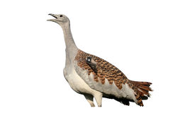 Free Great Bustard, Otis Tarda Stock Photo - 78244560