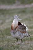 Great bustard, Otis tarda Royalty Free Stock Image