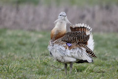 Great bustard, Otis tarda Stock Image