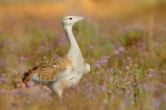 Great Bustard otis tarda sitting on the meadow with beautiful orange background in the morning royalty free stock photos