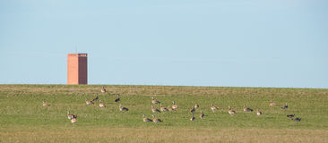 Great Bustards with tower. A flock of Great Bustards (Otis tarda) feeds on the tender grass on the central spanish flatlands of León province, in the background Royalty Free Stock Photos