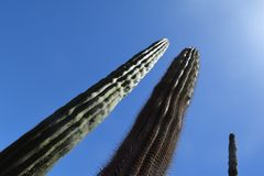 Great Cactus, latin: Pachycereus pringlei, Mexico. Great Cactus, latin: Pachycereus pringlei. Dry and heat resistant plant with sharp prickers and tall body. The stock photo