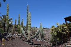 Great Cactus, latin: Pachycereus pringlei, Mexico. Great Cactus, latin: Pachycereus pringlei. Dry and heat resistant plant with sharp prickers and tall body. The royalty free stock photo
