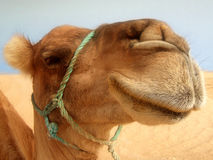 Great camel headshot. Great clear camel headshot in desert royalty free stock images