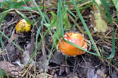 Poisonous mushrooms in the nature of Kazakhstan. stock photography