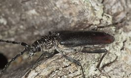 Great capricorn beetle (Cerambyx cerdo) Royalty Free Stock Photo