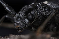 Great capricorn beetle (Cerambyx cerdo) Stock Images