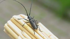 Great capricorn beetle (Cerambyx cerdo) stock video
