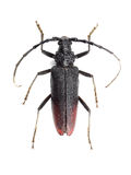 Great capricorn beetle (Cerambyx cerdo) isolated on white Stock Photo