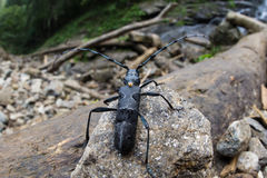 Great capricorn beetle - Cerambyx cerdo Royalty Free Stock Photography