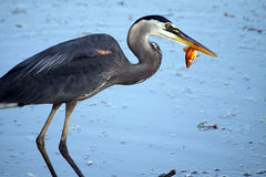 Great Catch. Great Blue Heron stealing a Goldfish from someone's pond Stock Photo
