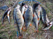 Great catch. Big perch on the grass Royalty Free Stock Image