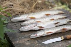 Great catch of fish. pike stock photography