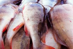 Great catch perch. a lot of fish close up. Perch royalty free stock photos
