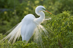 Great Cattle Egret Stock Photos