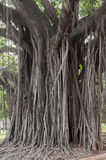Great centennial tree with huge aerial roots Royalty Free Stock Image