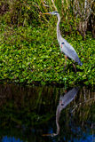 A Great Closeup Shot of a Great Blue Heron (Ardea herodias) with Reflection on Lake. Royalty Free Stock Images