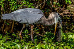 A Great Closeup Shot of a Wild Great Blue Heron (Ardea herodias) Eating a Large Bowfin Fish. Stock Photography