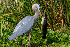 A Great Closeup Shot of a Wild Great Blue Heron (Ardea herodias) with a Large Bowfin Fish.