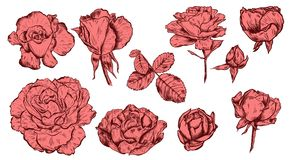 Great collection of highly detailed hand drawn roses isolated on white background. Vector. Great collection of highly detailed hand drawn roses isolated on white Royalty Free Stock Photos