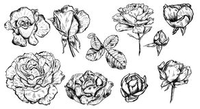 Great collection of highly detailed hand drawn roses isolated on white background. Vector. Great collection of highly detailed hand drawn roses isolated on white Stock Photos