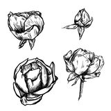 Great collection of highly detailed hand drawn roses isolated on white background. Vector. Great collection of highly detailed hand drawn roses isolated on white Stock Photography