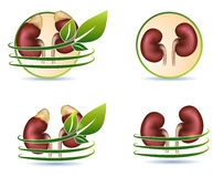 Great collection of human kidneys Stock Images