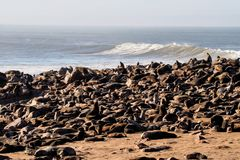 Great colony of Cape fur seals at Cape cross in Namibia stock images