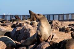 Great colony of Cape fur seals at Cape cross in Namibia. Great colony of Cape fur seals, Arctocephalus pusillus at Cape cross in Namibia stock photography