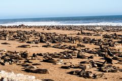 Great colony of Cape fur seals at Cape cross in Namibia. Great colony of Cape fur seals, Arctocephalus pusillus at Cape cross in Namibia royalty free stock images