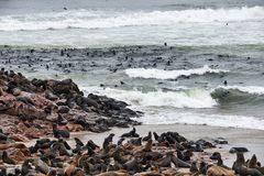 Colony of fur seals in Namibia. Great colony of seals fur at Cape cross in Namibia Royalty Free Stock Photo
