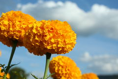 The great color of marigold in thailand Royalty Free Stock Images