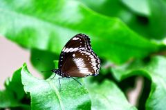 Great common eggfly butterfly male on a green leaf royalty free stock photography