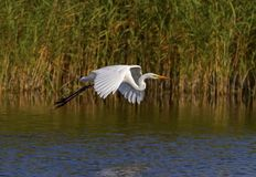 Great egret, ardea alba, flying, Neuchatel lake, Switzerland Stock Image