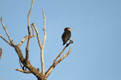 Great cormoran on dead tree Royalty Free Stock Photography