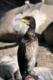 Great Cormoran (Phalacrocorax carbo) Stock Images
