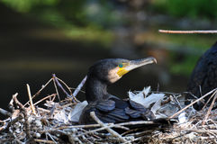 Great Cormoran (Phalacrocorax carbo) Royalty Free Stock Images