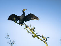 Great cormorant. A great cormorant drying its feathers Royalty Free Stock Photography