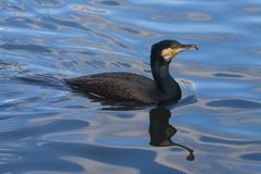 Great Cormorant. Floating in a lake Stock Image