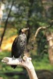 Great cormorant Stock Image