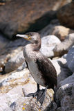 Great Cormorant Stock Image