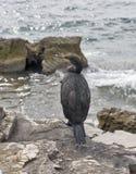 Great Cormorant Bird in Istria, Croatia Stock Image